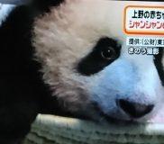 🐼シャンシャンの成長記録⑧🐼 12月中旬公開予定!(2017年10月12日記)
