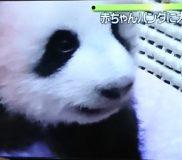 🐼子パンダちゃんの成長記録⑥ 犬歯が生えてきました🐼